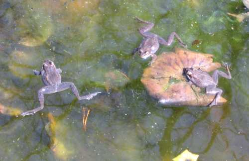 Wood frog trio in pond