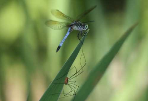 Dragonfly (Order Odonata) and daddy longlegs (Order Opiliones)