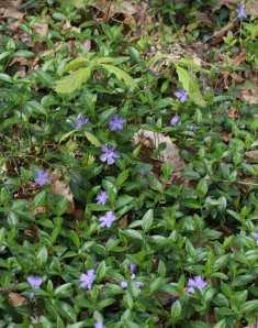 Periwinkle (Vinca minor) and chestnut oak (Quercus prinus) seedlings