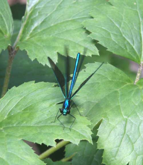 Ebony Jewelwing Calopteryx maculata clapping