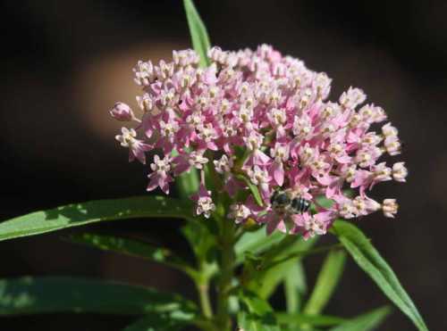 Asclepias incarnata swamp milkweed umbel