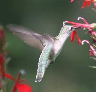 Ruby-Throated Hummingbird Archilochus colubris w Lobelia cardinalis female phase