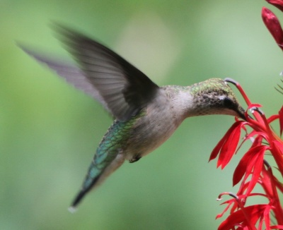 Ruby-Throated Hummingbird Archilochus colubris w Lobelia cardinalis male phase